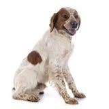 Perro de aguas de Bretaña Foto de archivo libre de regalías