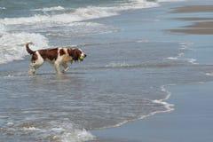 Perro de aguas de Bretaña Imágenes de archivo libres de regalías