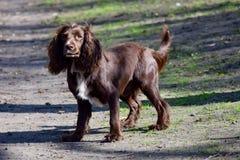 Perro de aguas de Brown Imágenes de archivo libres de regalías
