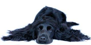 Perro de aguas de cocker 1 fotografía de archivo libre de regalías