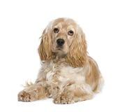 Perro de aguas de cocker (1 año) imágenes de archivo libres de regalías