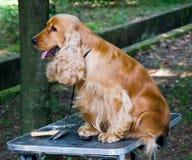 Perro de aguas de cocker Imagen de archivo