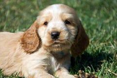 Perro de aguas de cocker Imagen de archivo libre de regalías