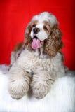 Perro de aguas de cocker foto de archivo