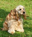 Perro de aguas de cocker Foto de archivo libre de regalías