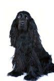 Perro de aguas de cocker 3 fotografía de archivo libre de regalías