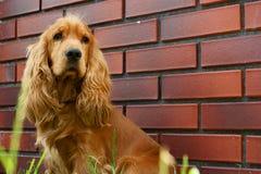 Perro de aguas de cocker Fotografía de archivo