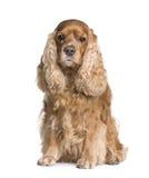 Perro de aguas de cocker (6 años) foto de archivo