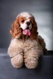 Perro de aguas de cocker fotos de archivo