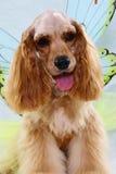 Perro de aguas de cocker Fotografía de archivo libre de regalías