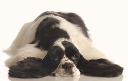 Perro de aguas de cocker agujereado Imagen de archivo libre de regalías