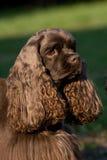 Perro de aguas de cocker americano Fotografía de archivo