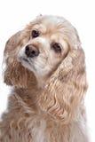 Perro de aguas de cocker americano Imágenes de archivo libres de regalías