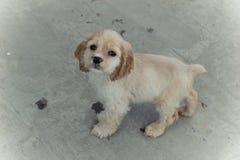 Perro de aguas de cocker americano Fotografía de archivo libre de regalías