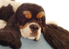 Perro de aguas de cocker americano Foto de archivo libre de regalías