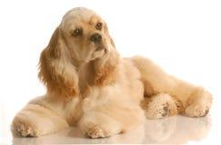 Perro de aguas de cocker americano Fotos de archivo libres de regalías