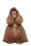 Perro de aguas de cocker americano del chocolate Foto de archivo