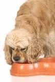 Perro de aguas de cocker americano que come el alimento Foto de archivo