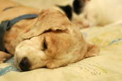 Perro de aguas de cocker cansado Imagenes de archivo