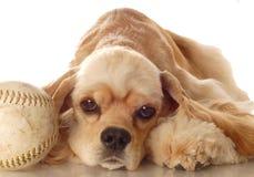 Perro de aguas de cocker con béisbol foto de archivo
