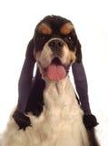Perro de aguas de cocker con los oídos envueltos Fotos de archivo libres de regalías