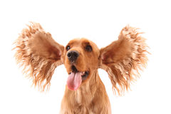 Perro de aguas de cocker con los oídos grandes Imagen de archivo libre de regalías