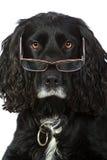 Perro de aguas de cocker de mirada inteligente con los vidrios imagen de archivo libre de regalías
