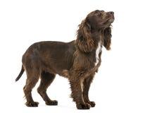 Perro de aguas de cocker de trabajo, 2 años, mirando para arriba fotografía de archivo libre de regalías
