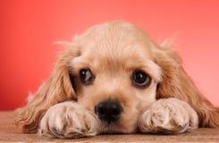 Perro de aguas de cocker del perrito imagenes de archivo
