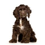 Perro de aguas de cocker del perrito foto de archivo