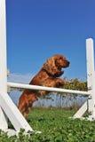 Perro de aguas de cocker en agilidad fotografía de archivo libre de regalías