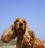 Perro de aguas de cocker en cielo azul Fotografía de archivo