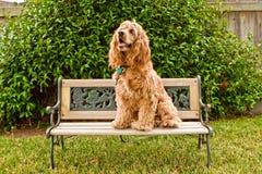 Perro de aguas de cocker en poco banco del jardín fotografía de archivo