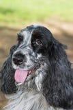 Perro de aguas de cocker hermoso Fotos de archivo libres de regalías