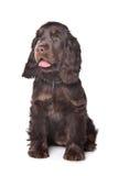 Perro de aguas de cocker inglés fotografía de archivo