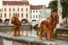 Perro de aguas de cocker inglés Imágenes de archivo libres de regalías