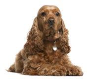 Perro de aguas de cocker inglés, 5 años, mintiendo Imágenes de archivo libres de regalías