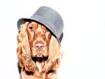 Perro de aguas de cocker inglés Imagen de archivo
