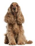 Perro de aguas de cocker inglés, 9 años, sentándose Imagenes de archivo