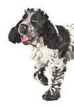 Perro de aguas de cocker inglés blanco y negro foto de archivo libre de regalías