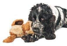 Perro de aguas de cocker inglés blanco y negro con un juguete Imagen de archivo