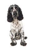 Perro de aguas de cocker inglés blanco y negro que mira para arriba Imagen de archivo