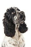 Perro de aguas de cocker inglés blanco y negro que mira para arriba Fotos de archivo