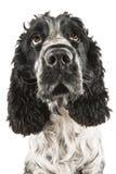 Perro de aguas de cocker inglés blanco y negro que mira para arriba Fotos de archivo libres de regalías