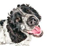 Perro de aguas de cocker inglés blanco y negro que mira para arriba fotografía de archivo