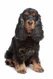 Perro de aguas de cocker inglés del negro y del tan imagen de archivo