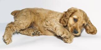 Perro de aguas de cocker inglés del perrito Fotos de archivo libres de regalías