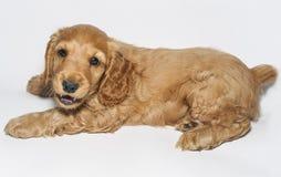 Perro de aguas de cocker inglés del perrito Foto de archivo