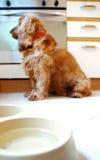 Perro de aguas de cocker inglés hambriento fotografía de archivo