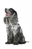Perro de aguas de cocker melado azul Fotos de archivo libres de regalías